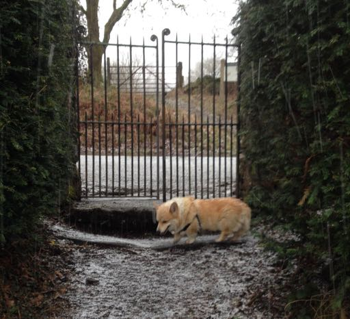corgi at the gate